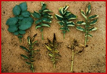 Photo of Leaves showing potato leafhopper damage