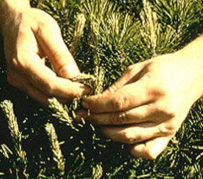 Pinching of candles on pine