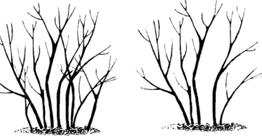 Thinning of older branches on a suckering shrub