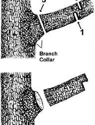 Three step method of pruning larger limbs
