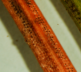 Rows of black Rhizosphaera fruiting bodies on spruce needles.