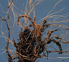 Brown discoloration of roots typical of root rot