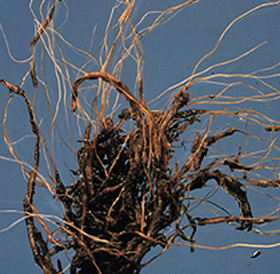 Root Rots in the Garden – Wisconsin Horticulture