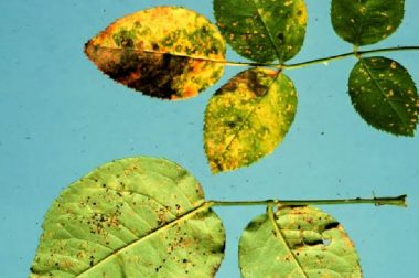 Yellow spots on upper leaf surfaces with corresponding powdery, orange to black spots on lower leaf surfaces are typical of rose