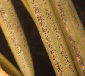 Fruiting bodies of the Swiss needle cast fungus on the underside of needles.