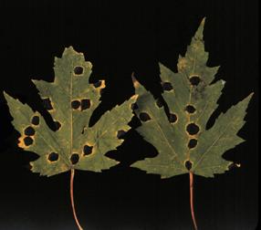 Symptoms of tar spot on silver maple leaves.