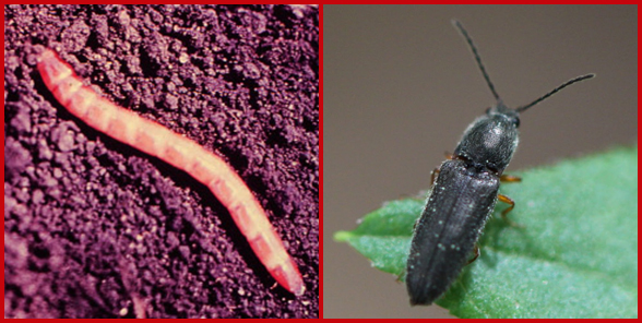Photo of wireworm larva and adult beetle.