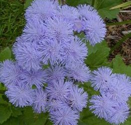 Ageratum plants have soft, fuzzy flowers that can be blue, pink, lavendar or white.