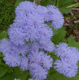 Ageratum wisconsin horticulture ageratum plants have soft fuzzy flowers that can be blue pink lavendar or mightylinksfo