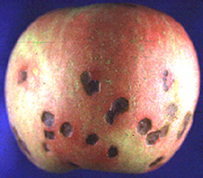 apple with symptoms of bitter pit