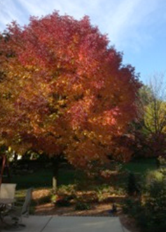 Is My Ash Tree Worth Treating for Emerald Ash Borer? – Wisconsin ...