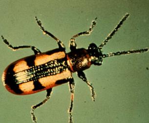Striped asparagus beetle adult