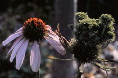 Coneflowers with aster yellows (right)