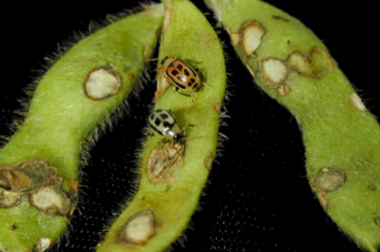 Bean leaf beetles. (Photo courtesy of Growmark.)