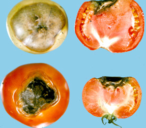 Blossom end rot of tomato