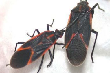 Boxelder Bug adults