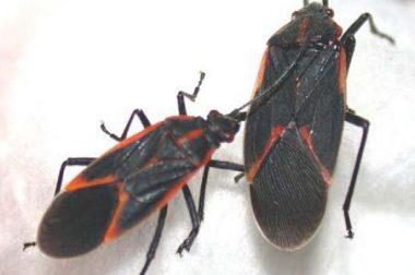 Boxelder Bug adults