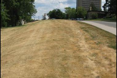 Kentucky bluegrass lawn may look dead but is still alive