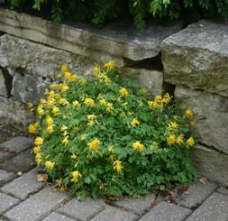 Yellow corydalis plants have finely cut foliage with yellow, tubular flowers.