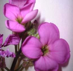 Dame's Rocket flower:  pink, 4-petaled