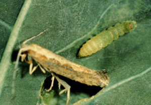Diamondback Moth Wisconsin Horticulture