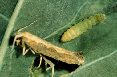 Diamondback moth larva and adult