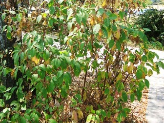 browning and early fall color from drought on dogwood