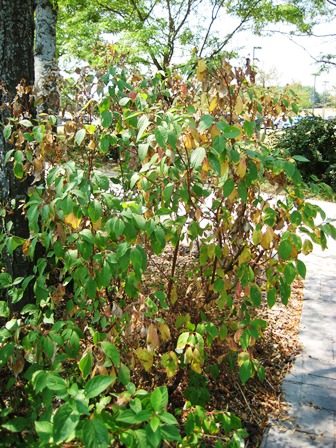 Drought and watering of ornamental plants wisconsin horticulture