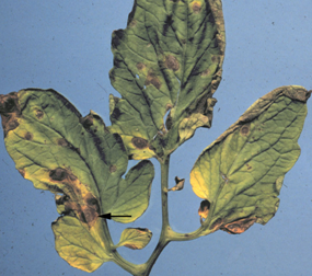 Early blight of tomato. Note spots with concentric rings (arrow) and yellow haloes.