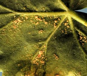 Edema pustules on the underside of a geranium leaf