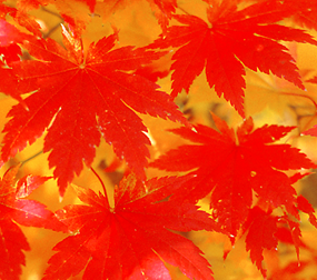Carotenoids and anthocyanins give leaves their bright fall colors.
