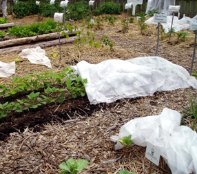 Floating row covers protect tender plants from wind and rain damage.
