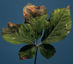 Typical symptoms of foliar Phytophthora on a 3-year-old ginseng leaf