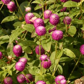 Globe amaranth wisconsin horticulture globe amaranth produces clover like flowers in pink purple white orange and mightylinksfo