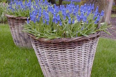 Grape hyacinths can be particularly attractive when used in mass plantings with other spring-flowering bulbs or in containers