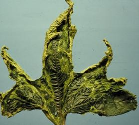 Squash leaf distorted due to exposure to a common lawn herbicide.
