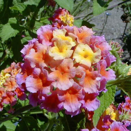 Lantana Lantanas Produce Long Stalked Flat Topped Cers Of Small Colorful Tubular