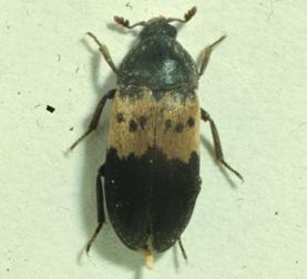 Adult Larder Beetle