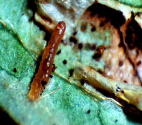 A dipteran leafminer with frass (i.e., feces) and leaf damage.