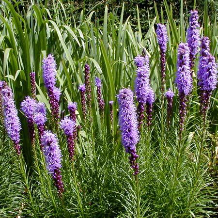Liatris wisconsin horticulture liatris plants produce tall spikes of purple flowers in late summer mightylinksfo