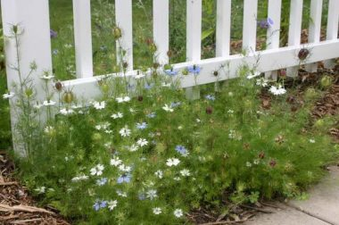 Love-in-a-mist is a charming, old-fashioned annual flower.
