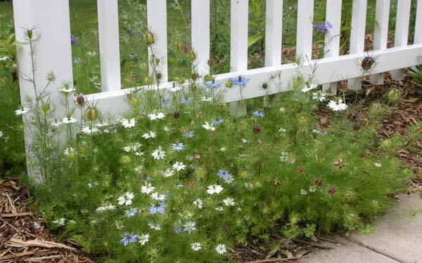 Love In A Mist Is Charming Old Fashioned Annual Flower