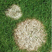 On short-cut grass Microdochium patch leads to the formation of round, pink-edged patches of dead turf that form over the winter