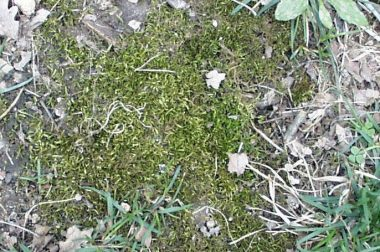 Moss often grows in bare areas of turf under moist, shaded conditions
