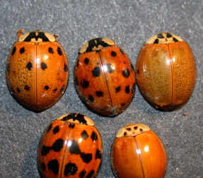 Multicolored Asian lady beetles come in many different color forms.