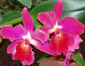 Orchids, such as the Cattleya hybrids, can add an exotic touch to your home, and can be easy to grow for novice indoor gardener.