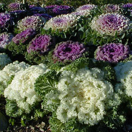 Ornamental Cabbages And Kales Are Prized For Their Brightly Colored Foliage