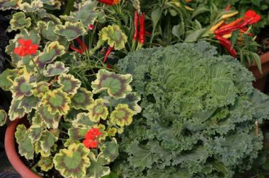 Ornamental kale combined with summer warm season annuals as a foliar contrast.