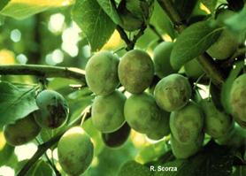 plum pox symptoms on immature plum fruits