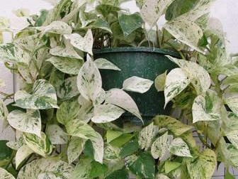 The variegated foliage of pothos can provide a colorful accent to your home.